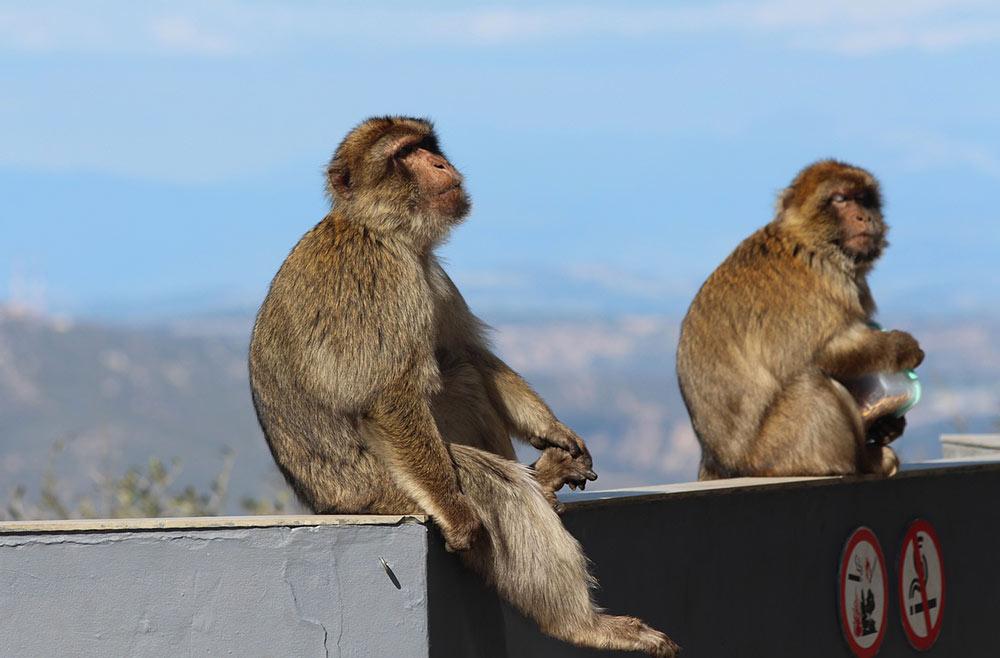 monkeys in Spain
