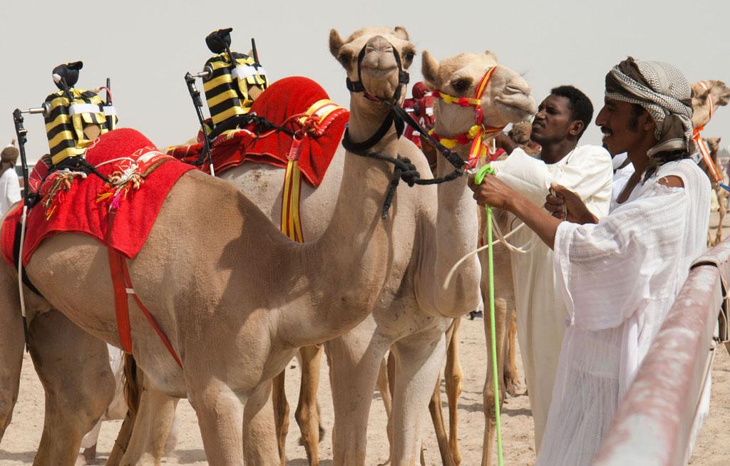 Fun facts about Dubai - Camel racing Dubai