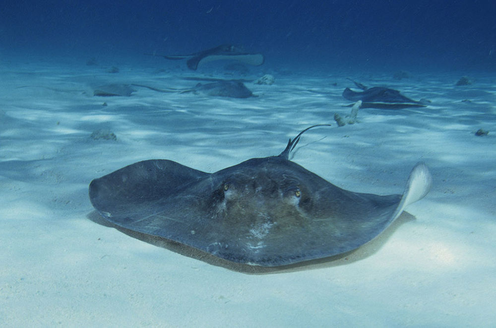 diving with stingrays at stingray city dive site
